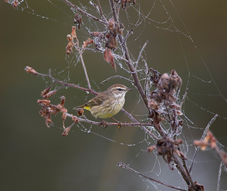 Palm Warbler in the webs
