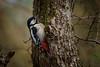Buntspecht (Jutta Achrainer) Tags: achrainerjutta singvögel sonyalpha7riii sonyfe100400mmf4556gmoss tierwelt vögel buntspecht bird vogel