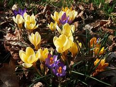 Dans le jardin (Marvinette) Tags: macro mars garden jardin flore fleur fleurs flower flowers france spring plant printemps hautevienne hiver limousin nature aimezvouslesfleurs androïd smartphone yellow jaune crocus