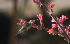Sheer Beauty (harefoot1066) Tags: trochilidae blackchinnedhummingbird femaleblackchinnedhummingbird archilocusalexandri asparagaceae agavoideae hesperaloe hesperaloeparviflora redyucca
