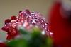Drops (luporosso) Tags: natura nature naturaleza naturalmente nikon nikond500 nikonitalia fiori fiore flowers flower fleur flores closeup macro rain raindrops gocce gotas