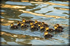 Protect The Babies (porclein) Tags: ducklings babies water pond beauty life love peace calm
