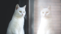 Cicikatica (Katarina Drezga) Tags: cats cat catphotography petphotography pets white glass animals feline felines domesticcat