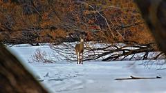 White Tailed Deer (Bob's Digital Eye) Tags: bobsdigitaleye canon canonefs55250mmf456isstm deer fauna frozenlake march2018 t3i whitetaileddeer wildlife woodsforests flicker flickr