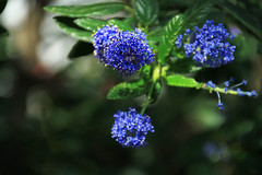 pom-pom Blues (Jen_Vee) Tags: flowers blue winter trees shrubs foliage cluster speckled green conservatory horticulture
