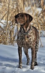 Intense (Jeannine St-Amour Photography) Tags: dog pointer germanshorthairpointer canine
