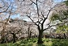 IMG_5858 (digitalbear) Tags: canon eos6d sigma 14mm f18 dg art shinjku gyoen sakura cherry blossom blooming hanami tokyo japan