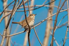 Hermit Thrush (chlorophonia) Tags: birds animals vertebrates hermitthrush turdidae animalia catharusguttatus thrushes