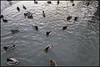 Just Another Ordinary Day (Eline Lyng) Tags: animal duck ducks mallard tuftedduck frognerparken park vigelandsculpturepark norway oslo leica q leicaq leicalens 28mm nature