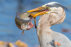 Great blue Heron with Rainbow Trout (X83_2122-1) (Eric SF) Tags: greatblueheron heron rainbowtrout trout bird fish dailycatch edrlevincountypark milpitas ca
