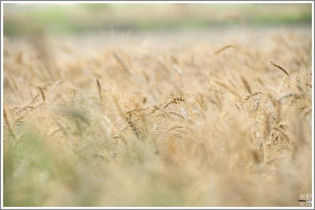 3月台南 親子寫真可以這樣拍 木棉花 蜀葵 小麥 一次讓你拍個夠 (20)
