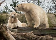 Polar bears (johan wieland) Tags: blijdorp ijsberen dierentuin zoo polar bear bears