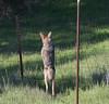 Coyote (6 of 12) (mjbolte) Tags: coyote ucsantacruz wildlife