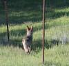 Coyote (3 of 12) (mjbolte) Tags: coyote ucsantacruz wildlife