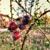 Rose hips (nenos_79) Tags: iphonephotography plant plovdiv bulgaria beautiful fruit flower flora nature macro rosehips
