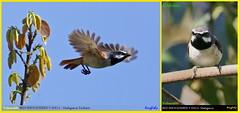 (Species #1214)  Vulnerable RED-SHOULDERED VANGA  - [ Ranomafana National Park, Madagascar ] (tinyfishy's World Birds-In-Flight) Tags: calicalicus rufocarpalis red shouldered vanga madagascar endemic vulneable