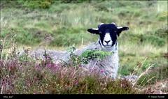 Who me? Bonehill Rocks, Dartmoor DSC00708 (Trevor Durritt) Tags: sonycybershotdschx9v ©trevordurritt sheep dartmoor devon england bonehillrocks digitalcompactcamera farming agriculture dartmoorblackface
