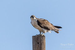 Osprey keeping close watch