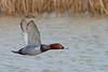 Pochard (redmanian) Tags: pochard bird duck ianredman rspb