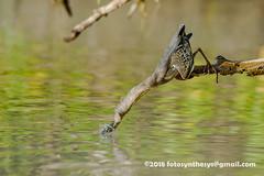 Striated Heron (Butorides striata), adult, with prey DSC_2476 (fotosynthesys) Tags: striatedheron butoridesstriata greenbackedheron heron ardeidae bird seychelles