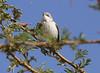 Lesser Whitethroat (Wild Chroma) Tags: sylvia curruca sylviacurruca whitethroat birds passerines jordan wadi rum wadirum