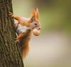 Nutty squirrel (hedera.baltica) Tags: squirrel redsquirrel eurasianredsquirrel wiewiórka wiewiórkapospolita sciurusvulgaris specanimal
