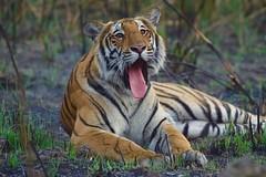 relaxing for a while (cirdantravels (Fons Buts)) Tags: panthera tigris pantheratigristigris bigcat tijger tigre carnivore carnivora feline felidae felinae tigerreserve dudhwa kishanpur coth5