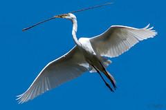 Nesting Egret (MelRoseJ) Tags: martinez california unitedstates us nature birds sonyalpha sony sonyilca77m2 sal70200g a77ii alpha autofocus greategret egret waterbird nest