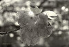 Cherry Blossoms Moment ... (MargoLuc) Tags: cherry blossoms spring ethereal moments sunlight tree backlight monochrome bokeh bw leaves petals