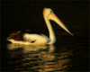 Afternoon Glow (Flair Photography Brisbane) Tags: infocus pelican glow bird water