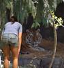 Hello Kitty (Scott 97006) Tags: tiger bengal woman female greetings animal wild