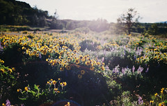 rowena memories, part one (manyfires) Tags: film analog blossom bloom spring flowers floralscape wildflowers balsamroot lupine rowenacrest gorge columbiarivergorge oregon pnw pacificnorthwest outdoors hike hiking landscape nikonf100 35mm