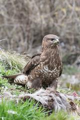 Poiana (Mazariol) Tags: cesiomaggiore poiana rapaci uccelli