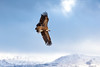 Griffin Vulture (Chas Moonie-Wild Photography) Tags: griffin vulture spain bird soaring large ngc