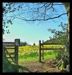 Daffodil Gateway (Develew) Tags: daffodils gateway bluesky field