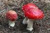 Fly agaric. (Bernard Spragg) Tags: amanitamuscaria red fungi mushroom lumix nature bright flyagaric forestfloor naturelover