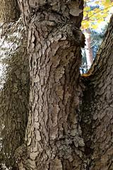 Solid Maple (peterkelly) Tags: digital canon 6d ontarionature caledon ontario canada northamerica willoughbynaturereserve fall autumn sugarmaple trunk tree forest bark
