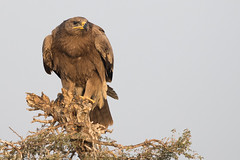 Steppe Eagle | Aquila nipalensis (Paul B Jones) Tags: india steppeeagle aquilanipalensis jorbeer bikaner rajasthan jorbeervulturesanctuary wildlife nature canoneos1dxmarkii ef500mmf4lisiiusm extender ef14xiii asia asian tourist tourism travel ecotourism indian indiya inde indien indië