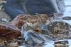 Purple Sandpiper (Dougie Edmond) Tags: bird beach water birds nature wildlife springtime spring canon ayr scotland unitedkingdom gb