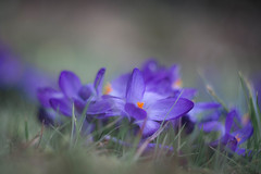 Still unbeaten (ursulamller900) Tags: helios442 crocus krokus purple bokeh mygarden springflower spring frühling