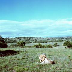 Frühstück! (derChambre) Tags: kodakportra400 yashicamat124g analog shotonfilm ishootfilm löwe lion südafrika grün blau sexy muschi