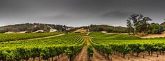 Leading vines (dmunro100) Tags: vine winery adelaidehills southaustralia leadinglines autumn cloudy rain grapes