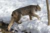 _D6X1475 (pxr57) Tags: sainteannedebellevue québec canada ca lynx nikon d600 eco zoo