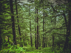 The deep forests on the way to Kullu, Himachal Pradesh, India (The Impulsive Photographer) Tags: travel travelphotography himachalpradesh india sony cybershot roadtrip forest jungle highway trees nature scenic view beauty green hillstation kullu landscape landscapephotography wilderness