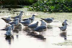 Black headed gulls (Siva301in) Tags: bird birds canon canonpowershotsx40hs canonpowershot siva301in sx40hs sx40 powershotsx40hs powershot powershotsx40 black headed gulls blackheadedgulls