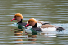 Red Crested Pochards (Netta rufina) (Baldyal) Tags: bird duck wildlife water lake oxfordshire
