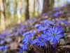 Blue carpet in the woods (Karsten Gieselmann) Tags: 1240mmf28 anemoneamericana blau bokeh braun dof em5markii frühling jahreszeiten leberblümchen mzuiko microfourthirds natur olympus pflanzen schärfentiefe wald wildblumen blue brown forest hepaticanobilis kgiesel m43 mft nature seasons spring wildflowers wood