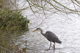 Heron on the fence