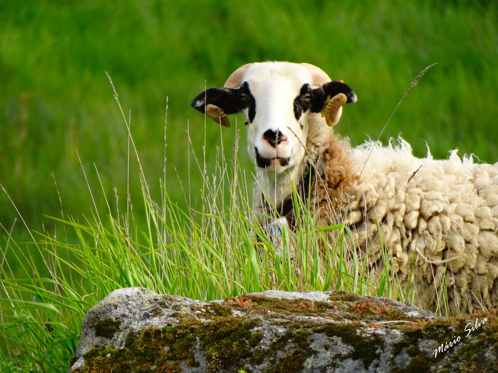 Águas Frias (Chaves) - ... o carneiro a posar para a fotografia ...