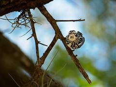 Are you looking at me too?? (Ed Rosack) Tags: 78woodwarblers orlando bird blackandwhitewarbler ©edrosack winterpark meadgardens usa centralflorida florida baww miniotiltavaria